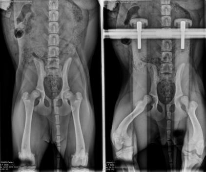 Hip Dysplasia in Puppies – Juvenile Pelvis Symphysiodesis (JPS)